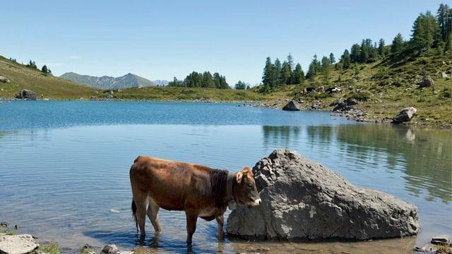 Eine Kuh kühlt sich in einem Bergsee ab.