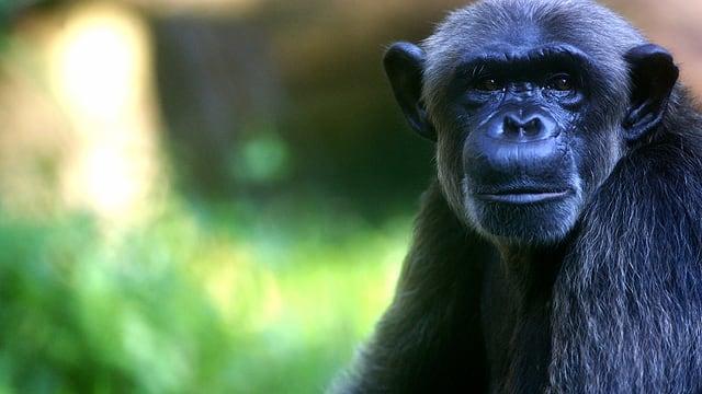 Ein Schimpanse blickt direkt in die Kamera.