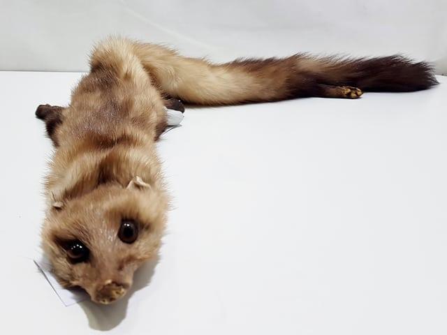 Präparierter Hermelin