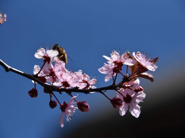 Biene auf rosaroter Blüte