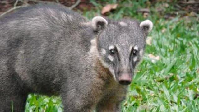 Coatis – Die Bären mit den frechen Nasen