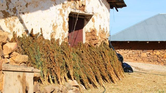 Cannabis-Büschel an einer Hauswand in Marokko.