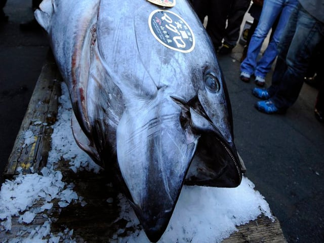 Ein gefangener Pazifischer Blauflossenthunfisch