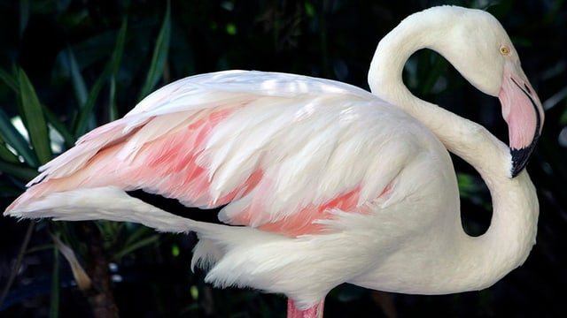 Flamingo Greater.