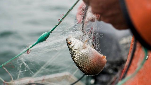 Ein kleiner Egli in einem Fischernetz, an dem ein Mann mit oranger Veste gerade hantiert.
