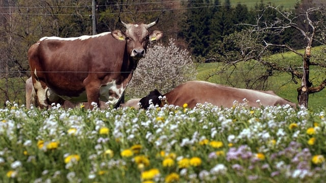 Kuh mit Hörner auf Blumenwiese mit Obstbäumen