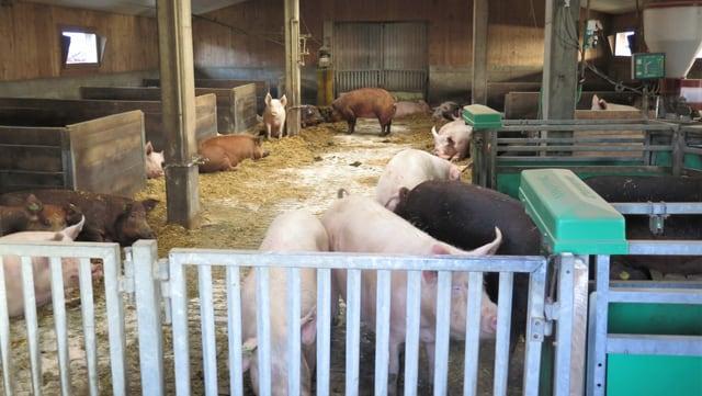 Der Laufstall von Samuel Schwabs Schweinen in Worb. Es sind Aarethal-Duroc-Schweine.