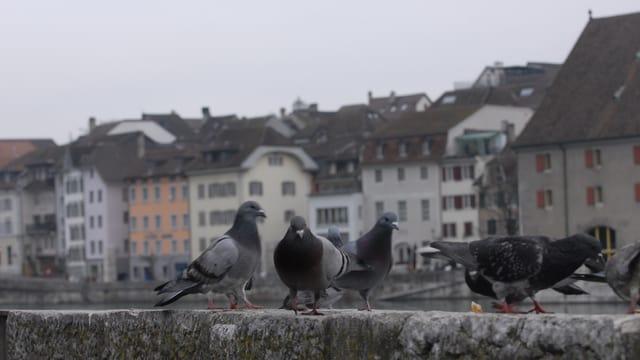 Tauben in Solothurn
