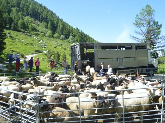155 Schafe steigen aus einem Lastwagen im Turtmanntal aus.