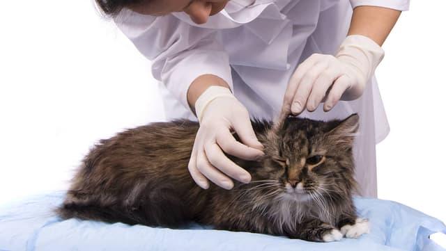 Tierärztin untersucht Katze.
