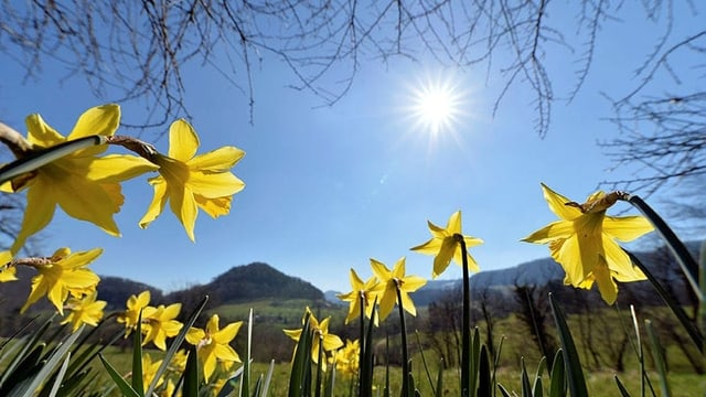 Sonne mit Osterglocken