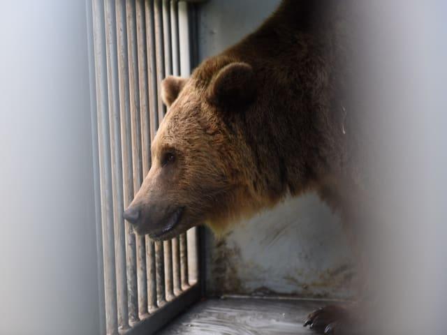 Ein Bär durch ein Gitter hindurch gesehen.