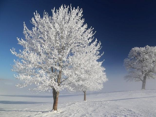 Weiss Bäume.