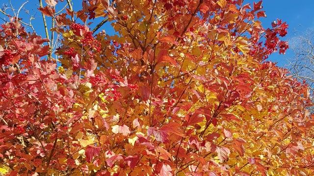 Die Bäume zeigen sich in allen Farben, so auch in Unterentfelden.