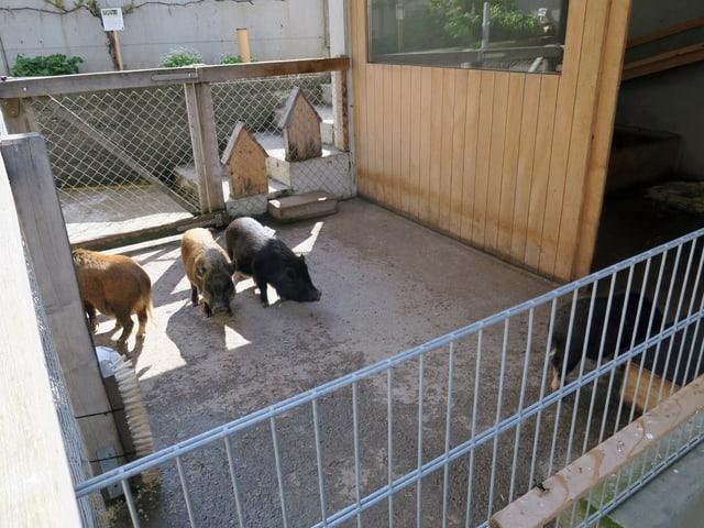 Vier Zwergschweine in einem Laufstall