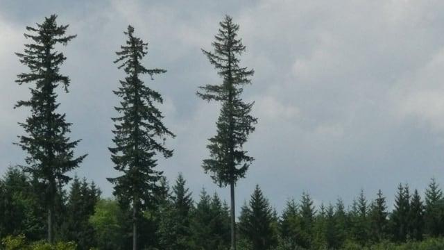 Drei einzelne hohe Bäume und daneben viele weniger hohe