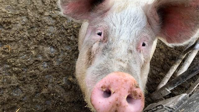 Gesicht eines von Struthers Schweinen.