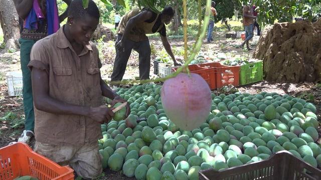 Ivorer beim Mango pflücken.