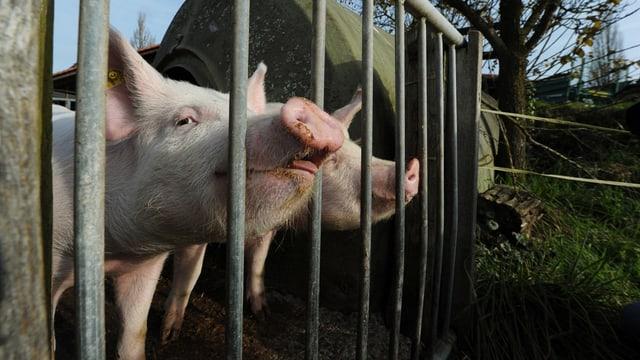 Schweine in einem Freiluftstall.
