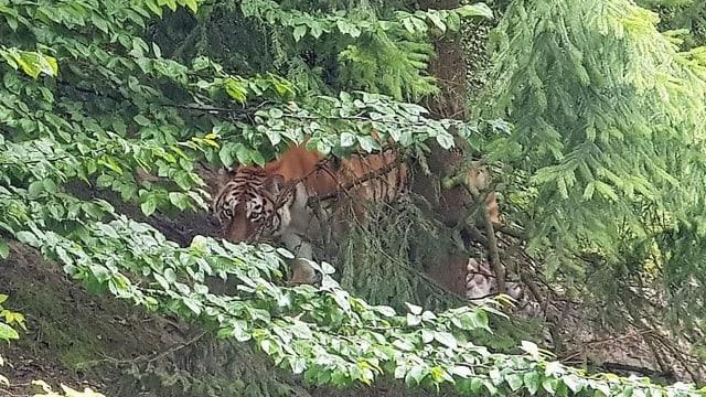 Zu sehen ein Tiger,
