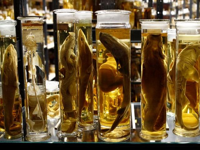 Diese Fisch-Exponate überdauern in Alkohol Jahrzehnte – für die Forschung.