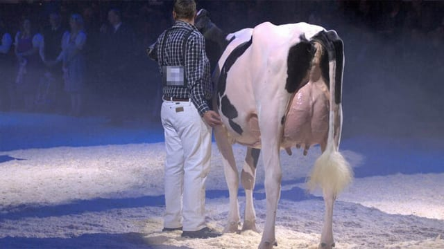 Kuh in der Arena mit übergrossem Euter