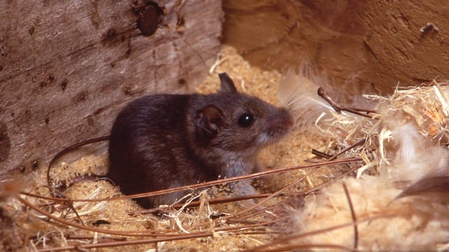 ein Mäuschen