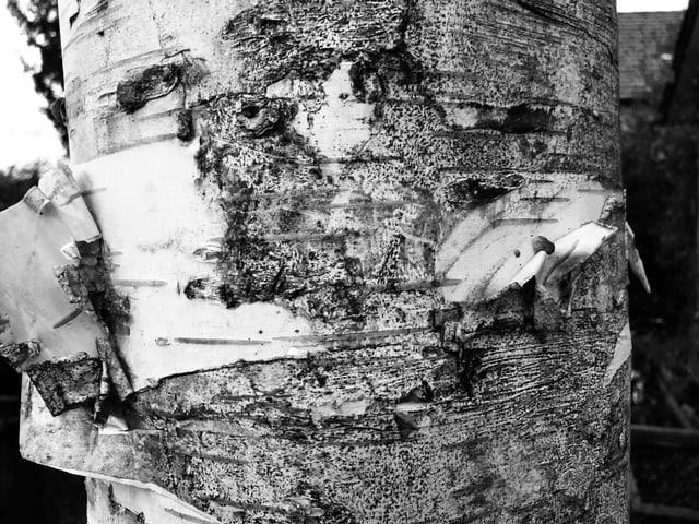 Bild einer Birkenrinde