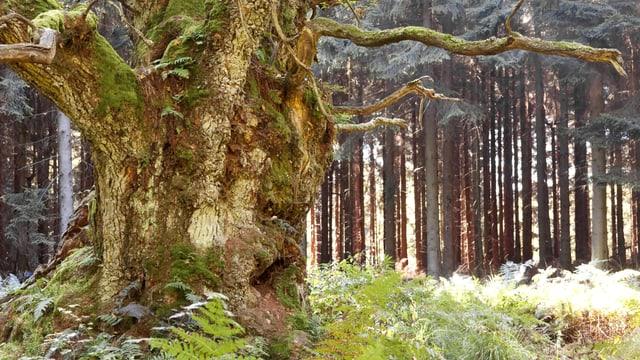 Eine dicke, von Moos bewachsene Eiche.