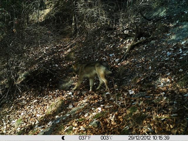 Fotofallen-Aufnahmen der Wölfe im Dorf Haldenstein.