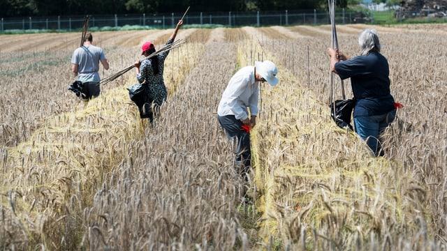 Menschen arbeiten auf einem Weizenfeld