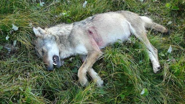 Ein toter Wolf liegt auf einer Wiese.