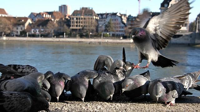 Tauben am Rheinbord