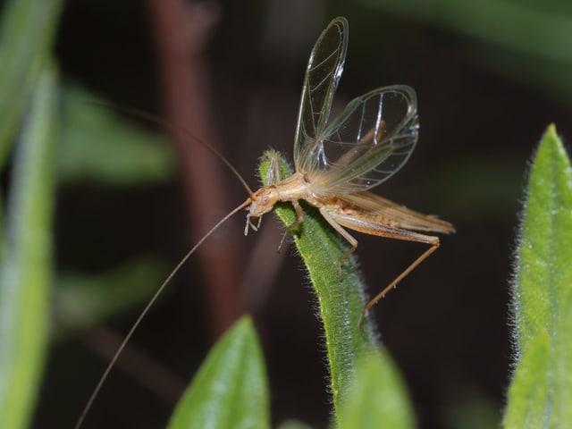 Insekt: länglicher Körper, Flügel, lange Fühler, sandbraun.