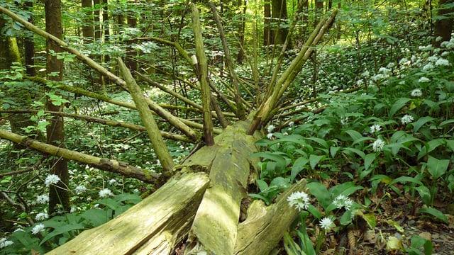 Toter Baum mit weissen Blumen