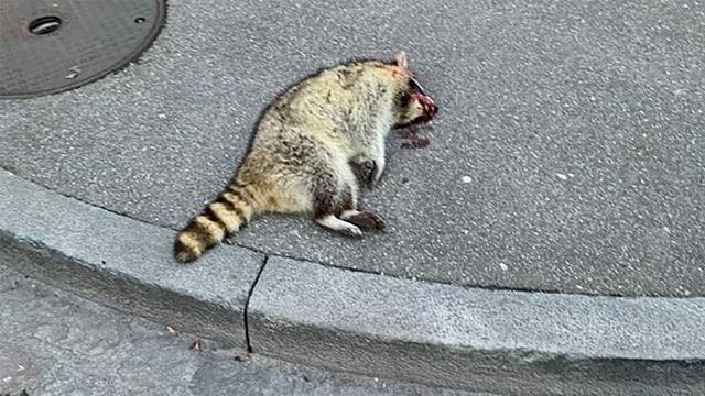 Ein toter Waschbär