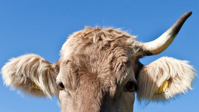 Nahaufnahme eines Kuhkopfes mit nur einem Horn