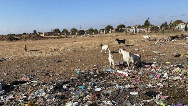 Ziegen bei einem Abfallplatz in der Nähe einer Wohnsiedlung