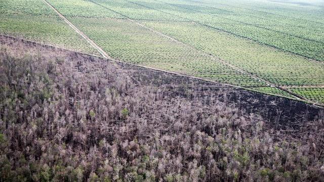 Monokultur von Palmen grenzen an den abgebrannten Dschungel