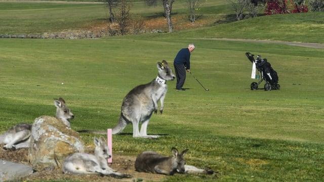 Kängurus auf Golfplatz.