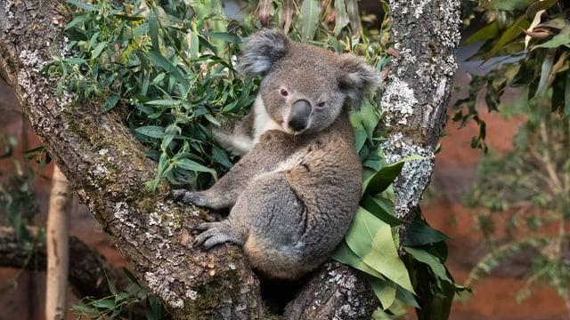 Koala in den Bäumen