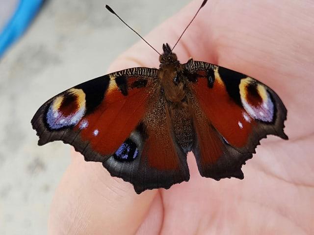 Das Tagpfauenauge als Schmetterling