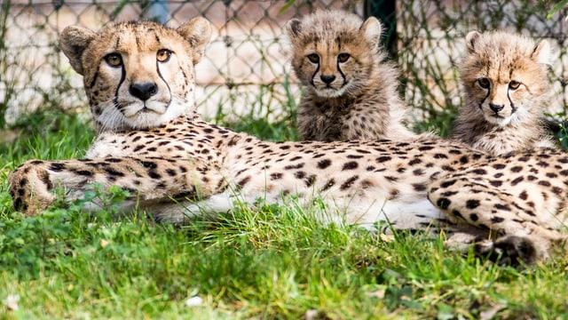 Eine Gepardin und zwei Junge im Zoo Basel.