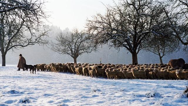 Hirt mit Schafen im Schnee.