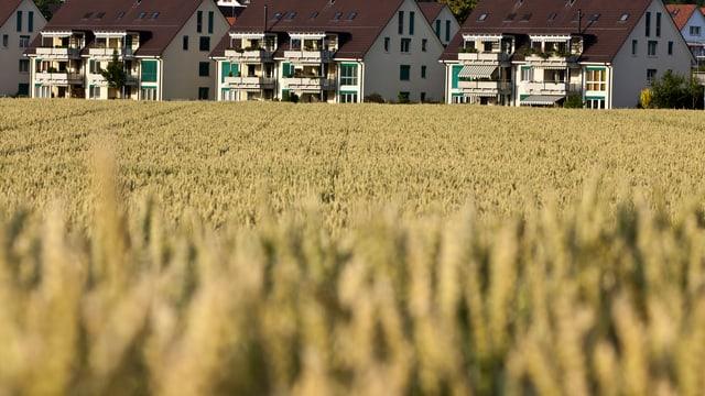 Ein Kornfeld, im Hintergrund eine Neubaureihe.