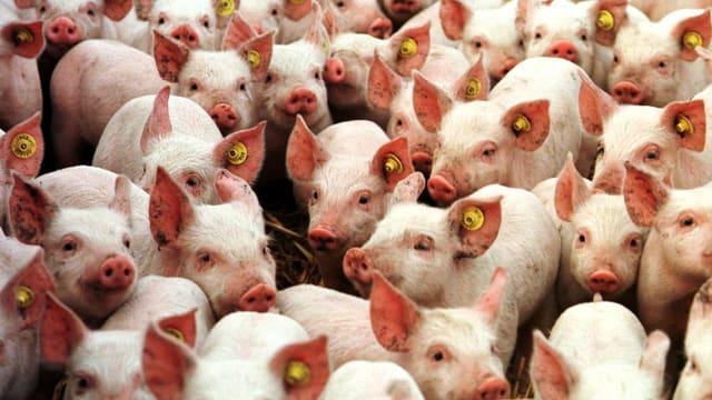 Eine Masse von kleinen Schweinen.