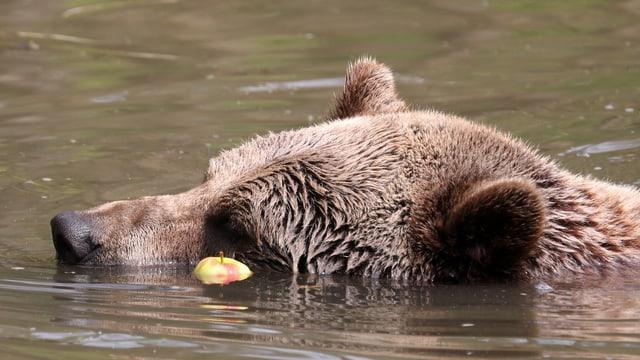 Bär schwimmt im Wasser