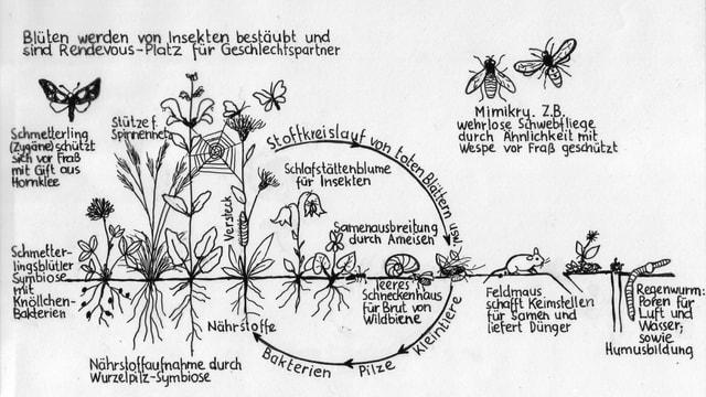 Zeichnung von Blüten und Insekten mit Erklärungen zu deren symbiotischer Beziehung.