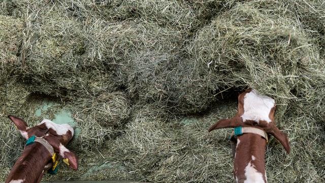 Ins vesa dus tgaus da vachas che mangian vid in grond mantun da fain