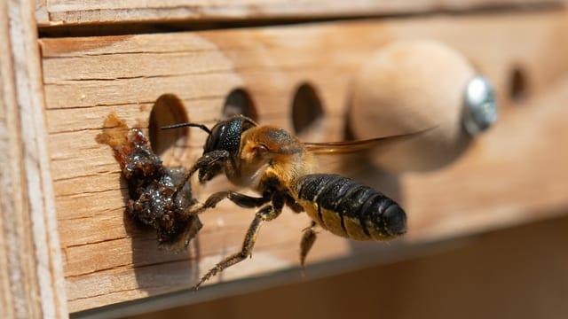 Asiatische Mörtelbiene bei einem Bienenhäuschen.